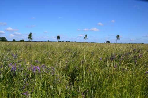 Getreidefeld am Streem