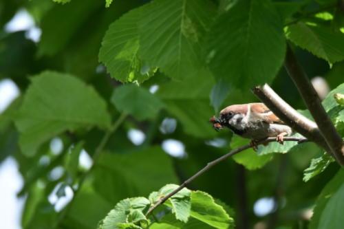 Feldsperling mit Futter für die Jungen im Nest
